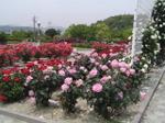 Rose_009
