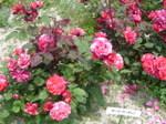 Rose_017