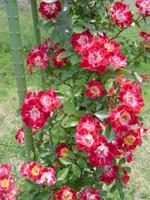 Rose_020