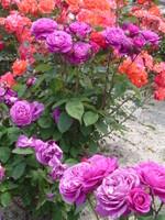 Rose_023