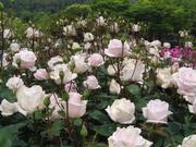 Rose_031