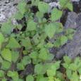黒部渓谷にて発見した植物~その1