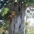 1000年杉